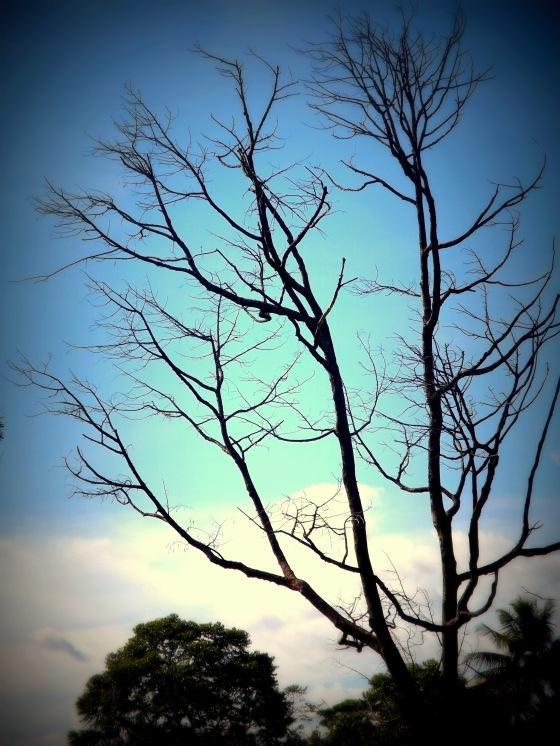 Pohon Pencakar Langit